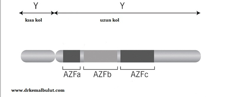 Y kromozomunun uzun kolunda Azospermi Faktör (AZF) bölgesinde oluşabilecek delesyon bölgeleri