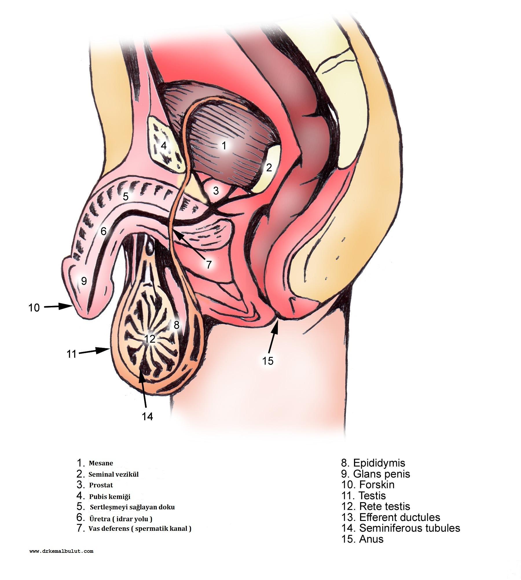 Erkeklerde üreme sistemi anatomisi