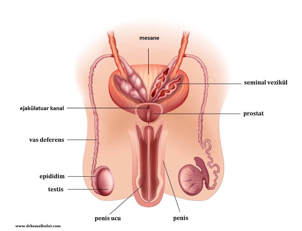 Spermin içinden geçtiği tüplerin sıralaması testisler, epididim, vas deferens, seminal vezikül, ejakülatör kanal, üretra ve çıkış