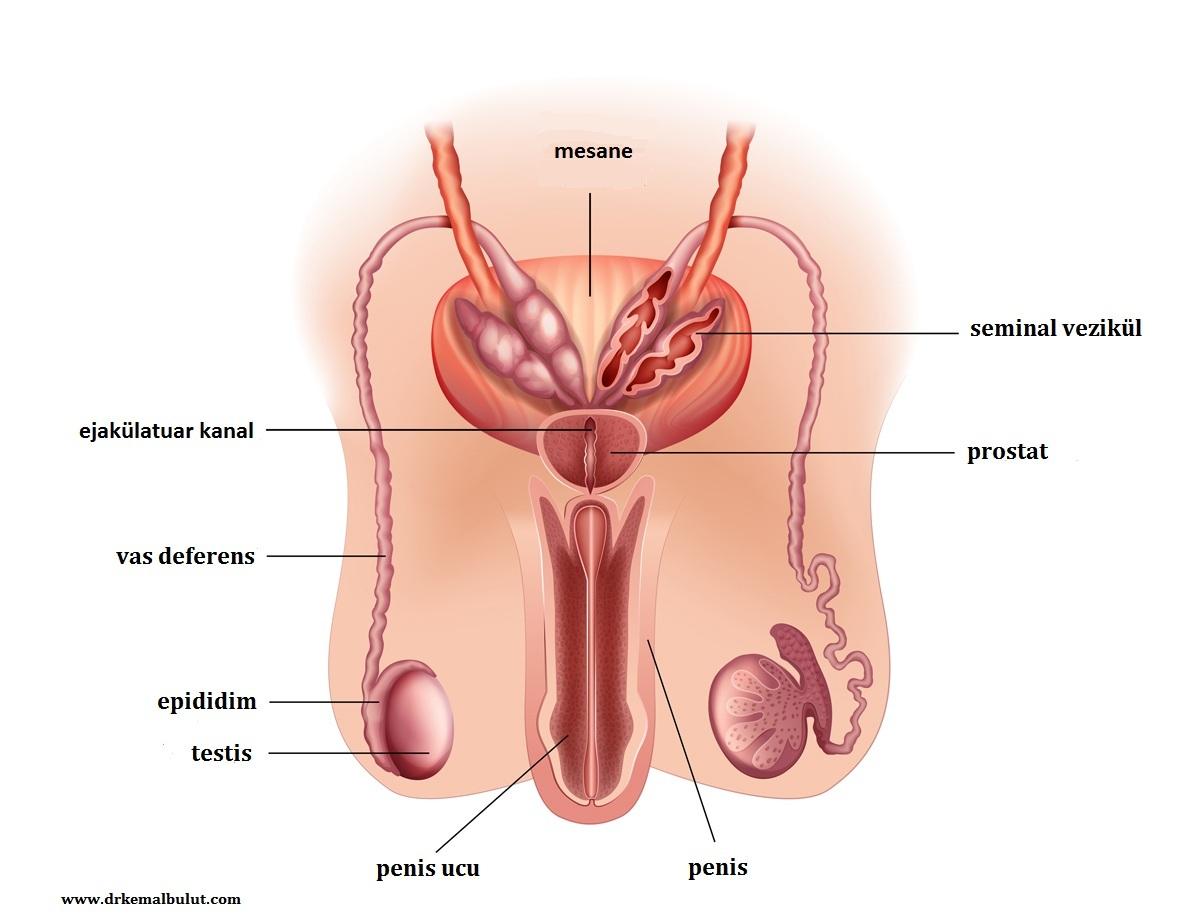 Erkek  üreme sisteminin anatomisi