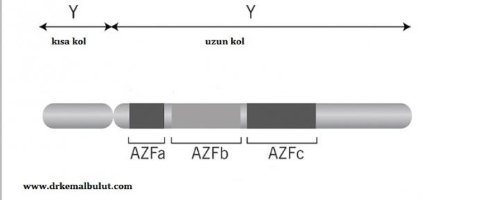 AZF ( Azospermi Faktör ) bölgesi Y kromozomunun uzun kolundadır.