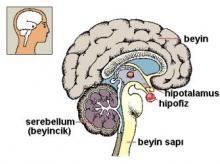 Sperm yapımına katkısı olan beyin bölümleri hipofiz ve hipotalamus' tur.